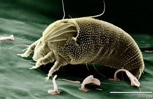 anti-acariens-acarien-aceria-anthocoptes